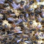 Anita's Bees