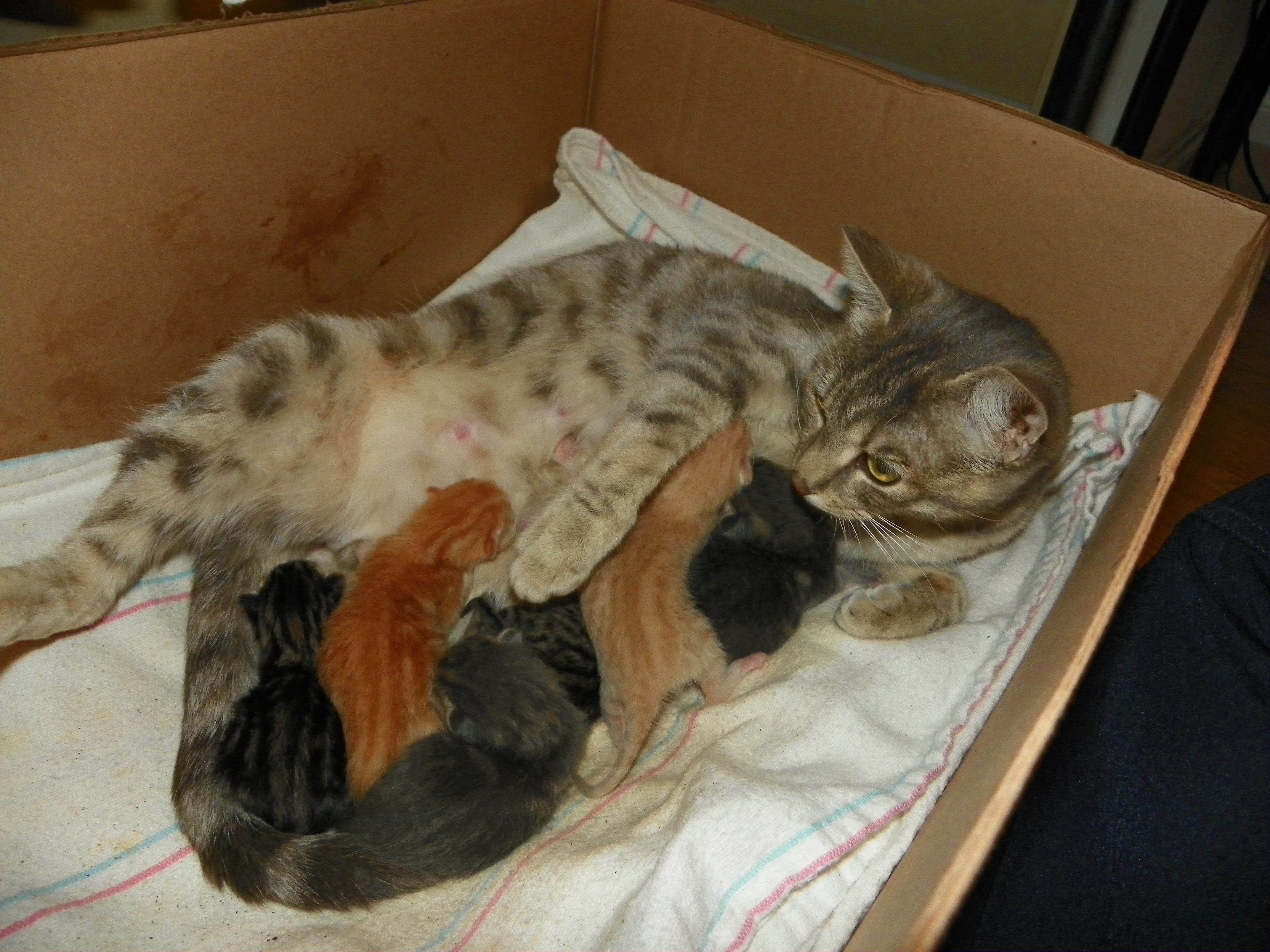 Can A Female Cat Be Spayed While Pregnant