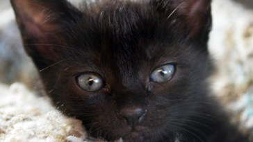 black cats kittens feature