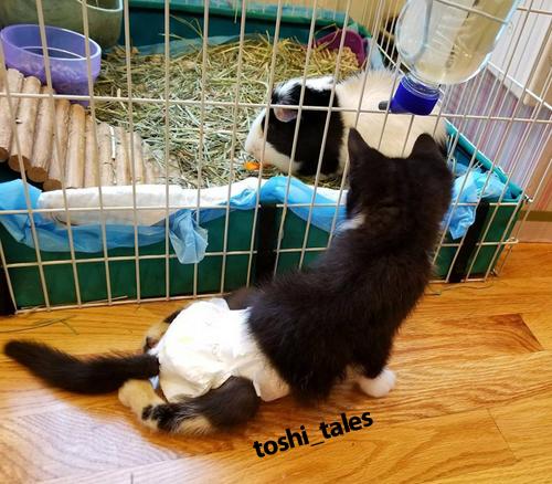 paraplegic tuxedo cat kitten