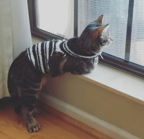 radial hypoplasia squitten rh cat