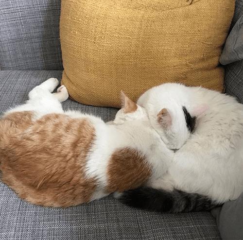 fiv+ radial hypoplasia rh cat