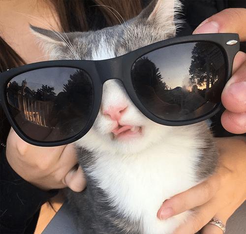 cerebellar hypoplasia ch cat emotional support animal