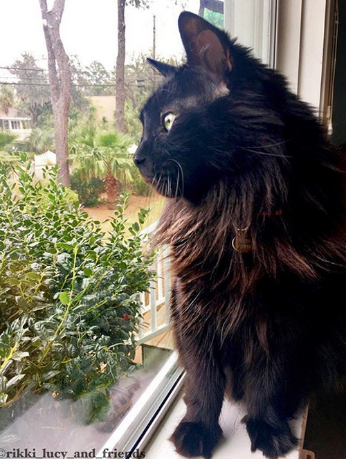 cat with feline eyelid agenesis