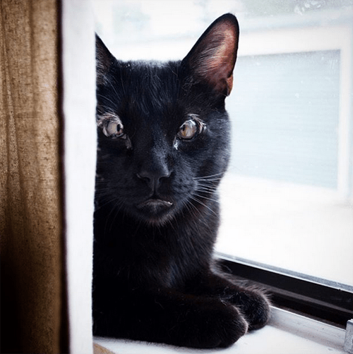 black cat with eyelid agenesis