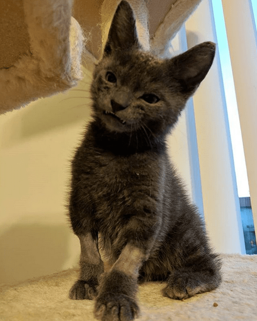 grey werewolf kitten with overbite