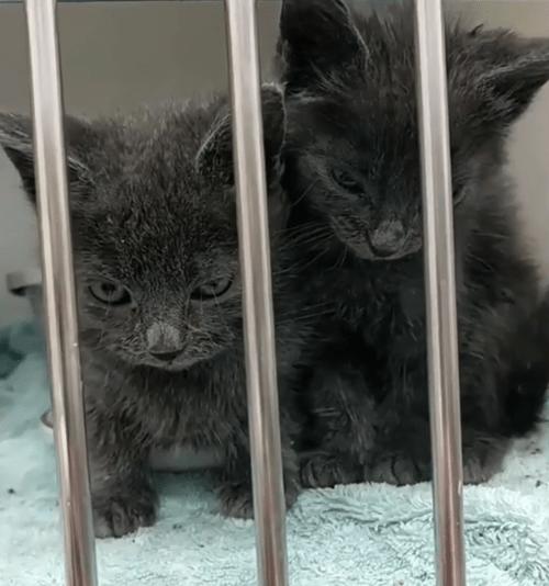 grey werewolf kitten with overbite