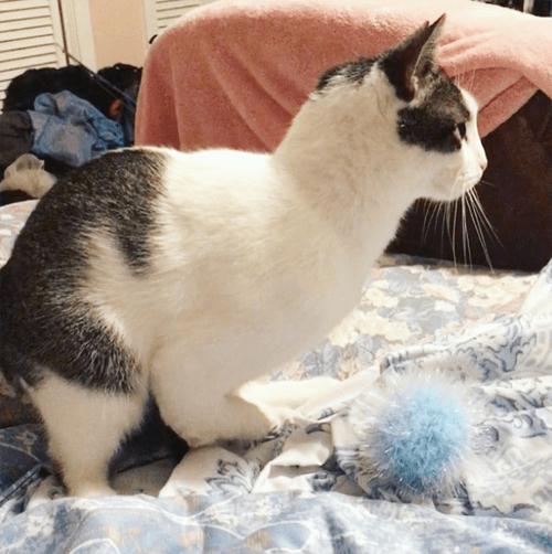 radial hypoplasia rh cat