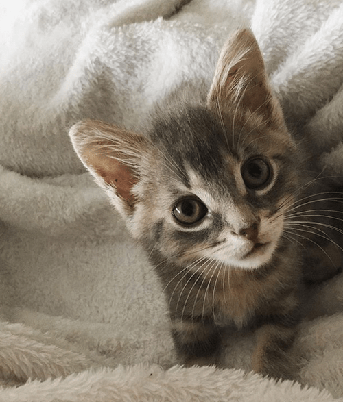 cat kitten with contracted tendons in hind legs