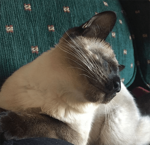 blind siamese cat kitten micropthalmia