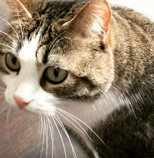 tabby and white cat with hind leg paralysis