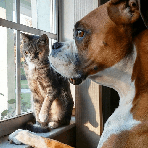 torbie cat with chromosomal abnormalities