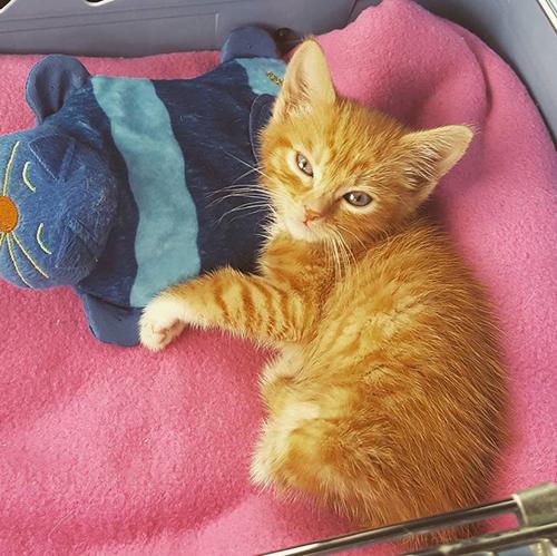 orange kitten with hind leg paralysis