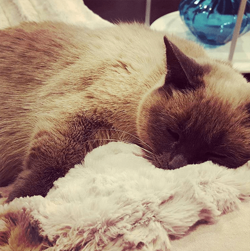 siamese cat with paralysis and incontinence