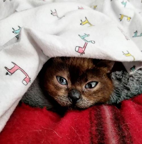 siamese cat with dwarfism hydrocephalus