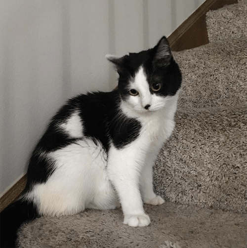 tuxedo cat incontinent wobbly hind legs