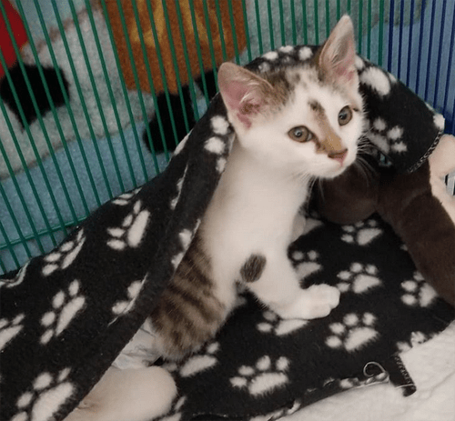 cute kitten with hind leg paralysis and incontinence