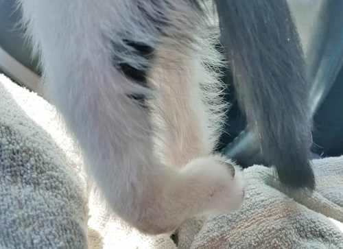 black and white kitten with tarsal hyperextension