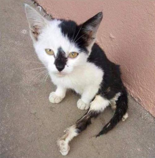 black and white cat with hind leg paralysis and incontinence