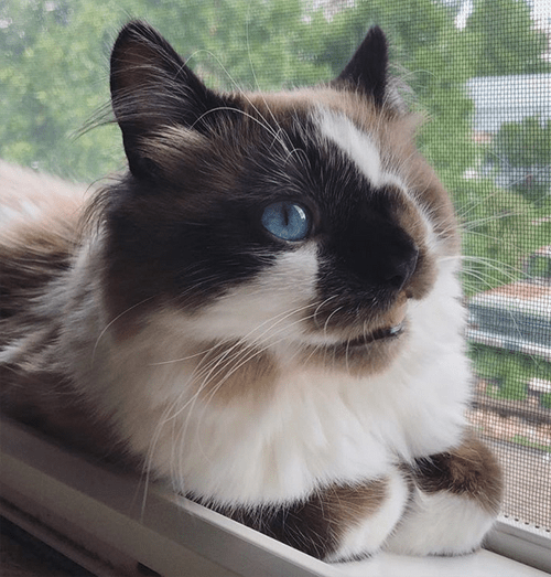 one eyed himalayan rescue cat with a cleft lip