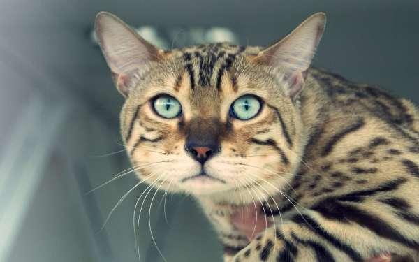 Унылый бенгальский котик