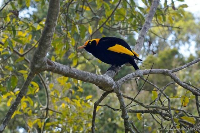 erkek çardak kuşları, en ilginç yuvalar, gösterişli evler, meraklı bilgiler, doğa, yaşam, kuşlar dünyası, hayvanlar alemi, bilim, çocuk, meraklı turşu, dünyada nerede, harita, harita okuryazarlığı, çevre okuryazarlığı, doğada hayat