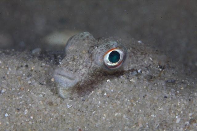 Japon kirpi balığı, doğa sanatçıları, denizlerde yaşam, ilginç hayvan yuvaları, denizaltı, habitat, ekoloji, meraklı çocuk, bilim, meraklı turşu