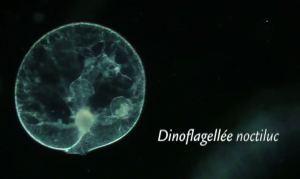 dinoflagellee-noctiluc
