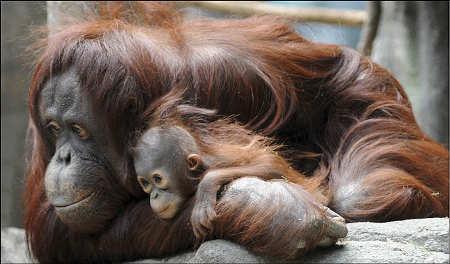 orango-sofia-col-suo-cucciolo-star-del-brookfield-zoo1
