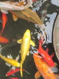 Love seeing some koi....
