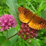 Fritillary Butterfly on Milkweed – JR