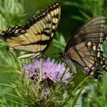Two Phases of Tiger Swallowtails by Jim Amon