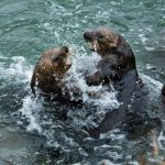 Otters playing in Sea courtesy of Kim Steinhardt