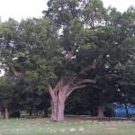 Salem Oak