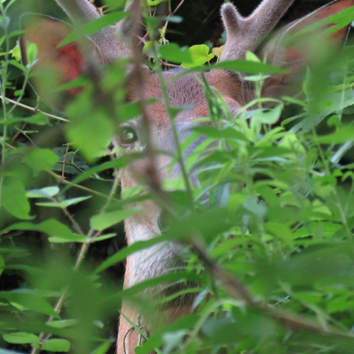 Management of deer necessary to protect environment