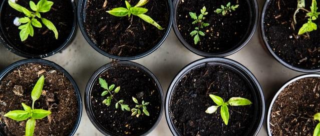 Vegetable seedlings growing in cups
