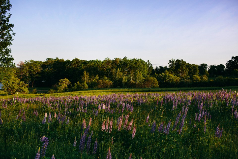 Alna Maine Lupine by Meredith Perdue