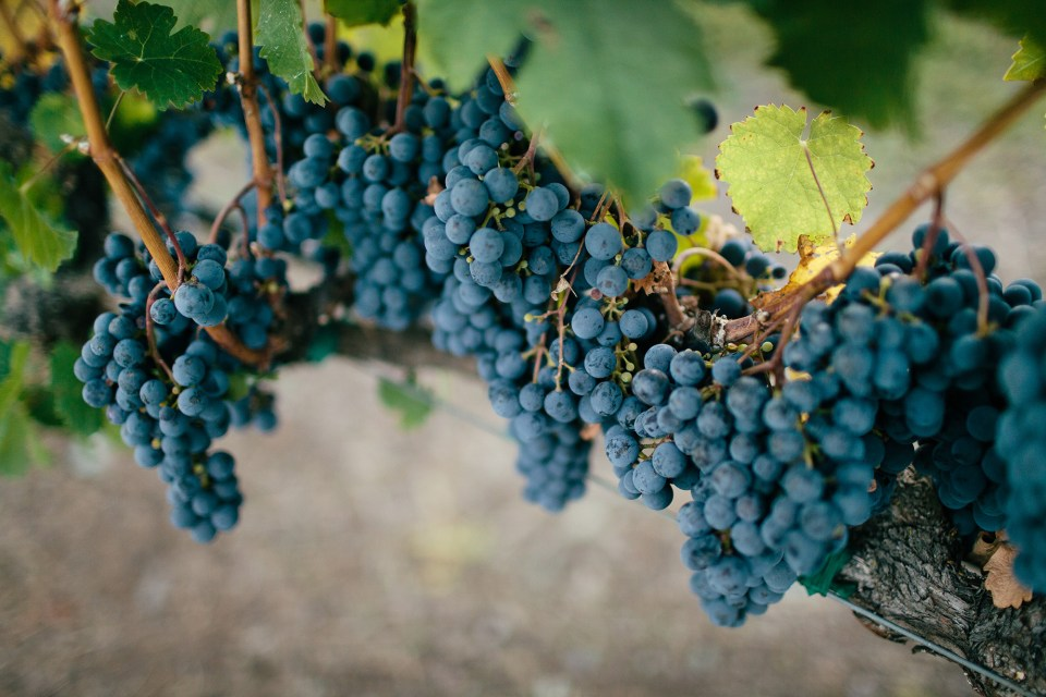 Sonoma Grapes by Meredith Perdue