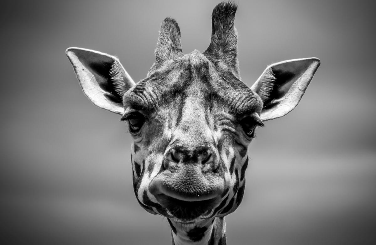 self doubt giraffe