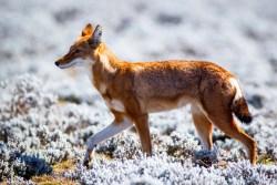 Ethiopian wolf, at the edge of extinction