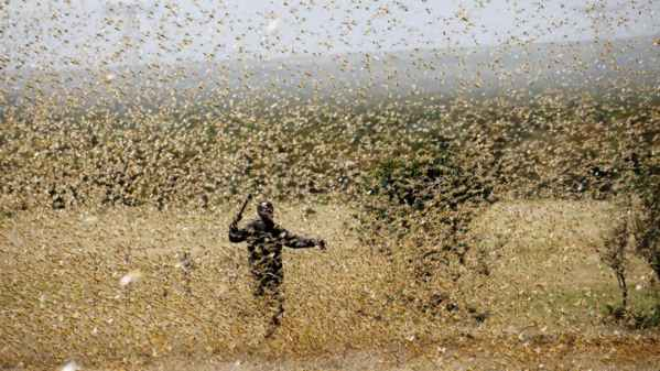 More desert locust swarms will hit Ethiopia and Kenya – FAO warns