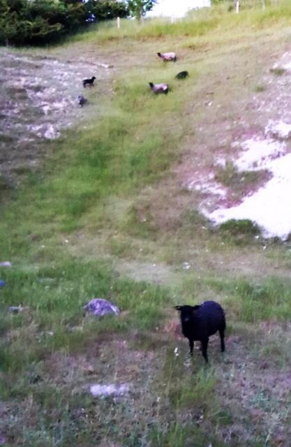 Får og lam elsker at græsse på skrænterne i den gamle kalkgrav. De urter som gror her smager godt
