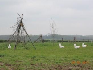 de witte kippen lopen vrij in de wei
