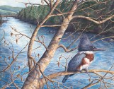 Mad River Kingfisher – by Linda Parkinson, Limited Edition print from original watercolor.