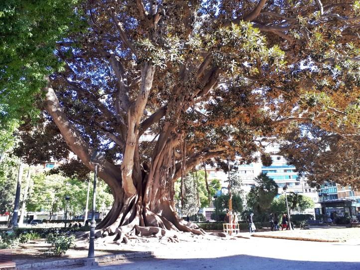 Ficus - Valencia -2