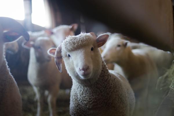 Sheep head tilted