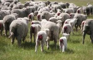Mulesing Sheep