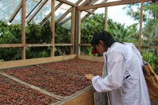 Poppy checking out the drying fermented cacao beans