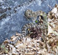 Rattlesnake on Spaulding Lake Trail