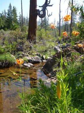 Turk's cap lilys, Sugar Pine Canyon